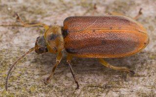 Galerucella lineola · guobinis aksominukas 2433