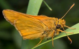 Thymelicus sylvestris · raudonbuožis storgalvis 2446