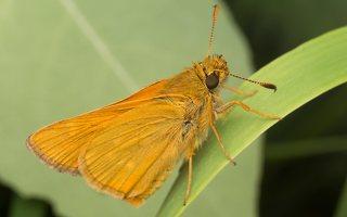 Thymelicus sylvestris · raudonbuožis storgalvis 2447