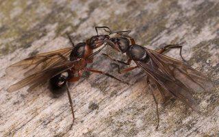 Formicidae · skruzdėlės 2453