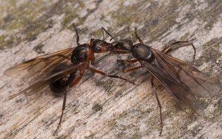 Formicidae · skruzdėlės 2454