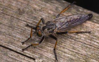 Asilidae · musė plėšrūnė 2455