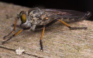 Asilidae · musė plėšrūnė 2456