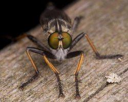 Asilidae · musė plėšrūnė 2460