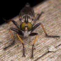 Asilidae · musė plėšrūnė 2461