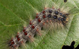 Lymantria dispar caterpillar · neporinis verpikas, vikšras 2464