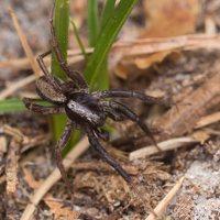 Lycosidae · plėšriavoriai 2516