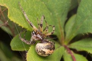 Araneae · vorai 2529