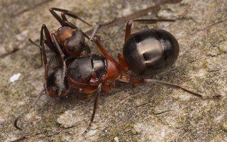 Formicidae · skruzdėlės 2728