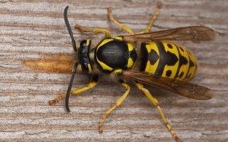 Hymenoptera · plėviasparniai
