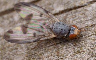 Palloptera umbellatarum 2784