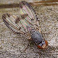 Palloptera umbellatarum 2785