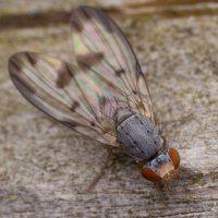 Palloptera umbellatarum 2786