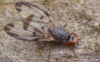 Palloptera umbellatarum 2787