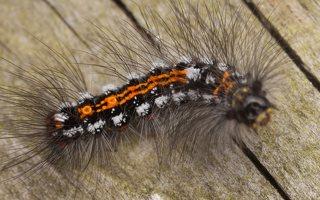 Euproctis similis caterpillar · geltonuodegis verpikas, vikšras 2788