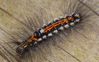Euproctis similis caterpillar · geltonuodegis verpikas, vikšras 2790