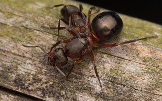Formicidae · skruzdėlės 2791