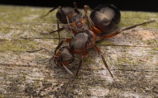 Formicidae · skruzdėlės 2792