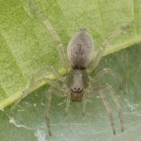 Clubionidae · maišiavoriai 2816