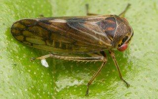 Oncopsis alni · cikadėlė 2821