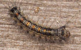 Lymantria dispar caterpillar · neporinis verpikas, vikšras 2825