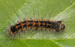 Lymantria dispar caterpillar · neporinis verpikas, vikšras 2829
