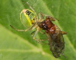 Araniella cucurbitina · raudondėmis voriukas 2876