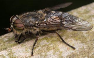 Tabanidae · sparvos 2891