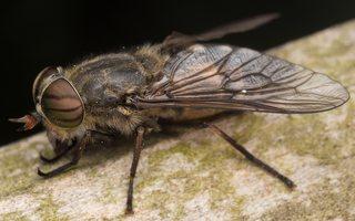 Tabanidae · sparvos 2892