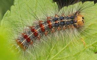 Lymantria dispar caterpillar · neporinis verpikas, vikšras 2896