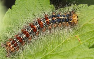 Lymantria dispar · neporinis verpikas