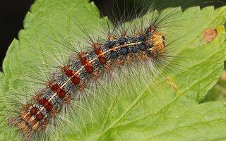 Lymantria dispar caterpillar · neporinis verpikas, vikšras 2899