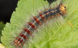 Lymantria dispar caterpillar · neporinis verpikas, vikšras 2900