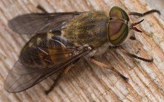 Tabanidae · sparvos 2941