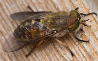 Tabanidae · sparvos 2942