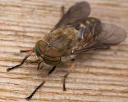 Tabanidae · sparvos 2943