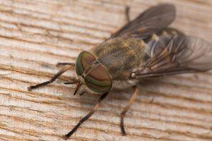 Tabanidae · sparvos 2944