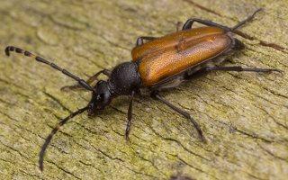 Stictoleptura maculicornis · dėmėtaūsis žieduolis 2949