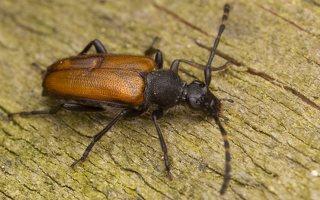 Stictoleptura maculicornis · dėmėtaūsis žieduolis 2951