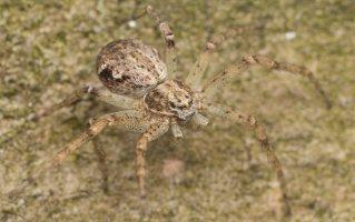 Philodromidae · vikrūnai 2954
