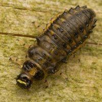 Plagiosterna aenea larva · žaliasis girinukas, lerva 2958