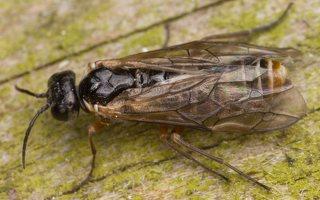 Hymenoptera · plėviasparnis 2960