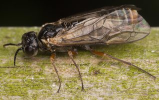 Hymenoptera · plėviasparnis 2961