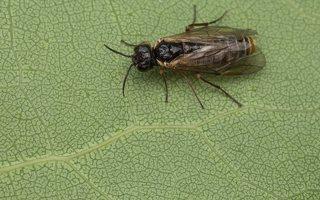 Hymenoptera · plėviasparnis 2962