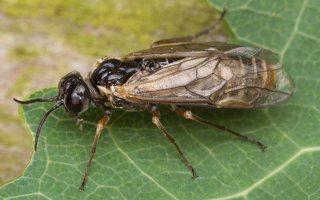 Hymenoptera · plėviasparnis 2964