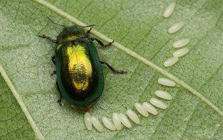 Plagiosterna aenea · žaliasis girinukas 2970