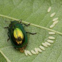 Plagiosterna aenea · žaliasis girinukas 2971