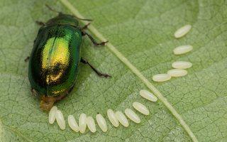 Plagiosterna aenea · žaliasis girinukas 2972