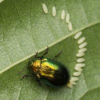 Plagiosterna aenea · žaliasis girinukas 2974