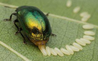 Plagiosterna aenea · žaliasis girinukas 2976